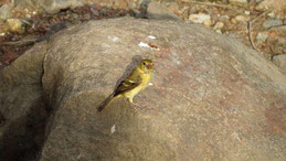 Lesser Goldfinch, Mexikozeisig, Spinus psaltria