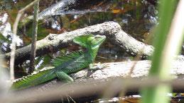 Jesus Christ Lizard, Stirnlappenbasilisk, Basiliscus plumifrons