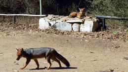 Southamerican Grey Fox, Argentinischer Kampfuchs, Fray Jorge National Park