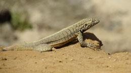 Peru Pacific Iguana, Peruanischer Leguan, Microlophus peruvianus, Paracas Nacional Reserve