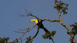 Keel-billed toucan, Fischertukan, Ramphastos sulfuratus