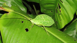 Leaf Bug, Katydid, Manu National park