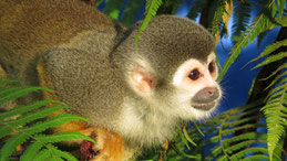 Squirrel Monkey, Totenkopfaffe, Saimiri
