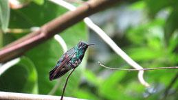 Blue-chested Hummingbird, Blaubrustamazilie, Amazilia amabilis