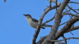 Chalk-browed Mockingbird, Camposspottdrossel, Mimus saturninus