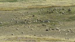 Alpaca, Altiplano Peru