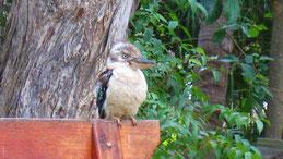 Kookaburra, Jägerliest, Dacelo