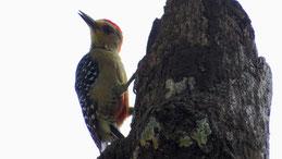 Red-crowned Woodpecker, Rotkappenspecht, Melanerpes rubricapillus
