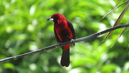 Crimson-backed Tanager (male), Scharlachbauchtangare (Männchen), Ramphocelus dimidiatus