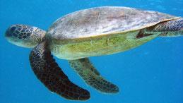 Green Turtle, Grüne Meeresschildkröte, Chelonia mydas