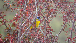 Blue-and-yellow Tanager, Blau-gelbe Tangare, Pipraeidea bonariensis