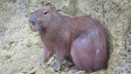 Capybara, Hydrochoerus hydrochaeris, Manu National Park