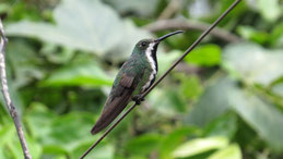 Black-throated Mango, Schwarzbrust-Mangokolibri, Anthracothorax nigricollis, female