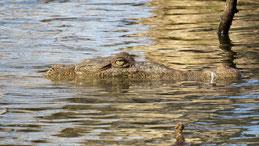 American Crocodile, Spitzkrokodil, Crocodylus acutus, Lago Enriquillo