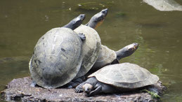 Black Wood Turtle, Schwarze Holzschildkröte, Rhinoclemmys funerea