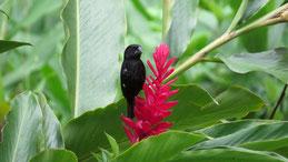 Thick-billed Seed-Finch, Dickschnabel-Reisknacker, Oryzoborus funereus