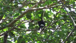 Keel-Billed Toucan, Fischertukan