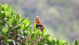 Cherrie´s Tanager (female), Cherrietangare, Ramphocelus passerinii costaricensis