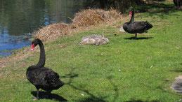 Black Swan, Trauerschwan, Cygnus atratus, Perth