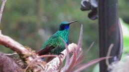 Sparkling Violetear, Großer Veilchenkolibri, Colibri coruscans