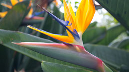 Bird of paradise flower, Strelitzie, Strelizia
