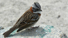 Rufous-collared Sparrow, Morgenammer, Zonotrichia capensis, Humboldt National Park
