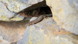 Madeira lizard, Madeira-Eidechse, Lacerta dugesii
