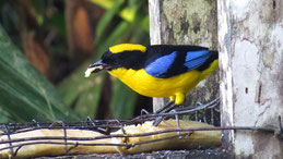 Blue-winged Mountain Tanager, Blauschwingen-Bergtangare, Anisognathus somptuosus, Mindo
