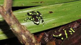Green-and-black poison dart frog, Goldbaumsteiger, Dendrobates auratus
