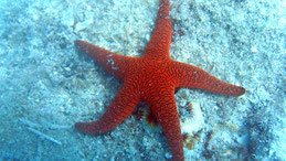 Seastar, Diving Whitsunday Islands, Great Barrier Reef