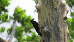 Yellow-tufted Woodpecker, Gelbbrauenspecht, Melanerpes cruentatus, Tambopata