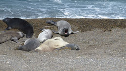 Elephant Seal, See-Elefant, Mirounga