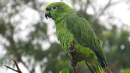 Yellow-crowned Amazon, Gelbscheitelamazone, Amazona ochrocephala, Manu National Park