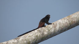 Brown-mantled Tamarin, Braunrückentamarin, Saguinus fuscicollis, Manu National park
