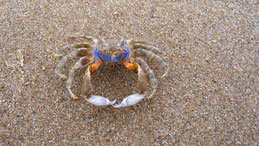 Crab (unidentified), eastcoast