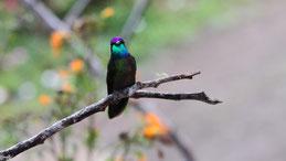 Talamanca Hummingbird, Talamanka Kolibri, Eugenes spectabilis