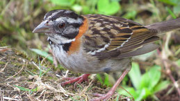 Rufous-collared Sparrow, Morgenammer, Zonotrichia capensis