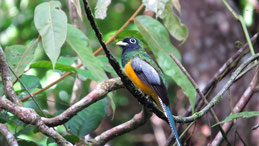 Black-throated Trogon, Schwarzkehltrogon, Trogon rufus