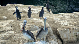 Chilean Pelican, Chilepelikan, Pelecanus thagus, Humboldt National Park