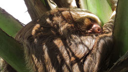 Two-toed sloth, Zweifinger-Faultier, Choloepus didactylus