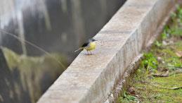 Grey wagtail, Gebirgsstelze, Motacilla cinerea