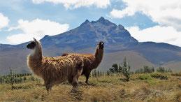 Llama, Lama, Lama glama, Cotopaxi National Park