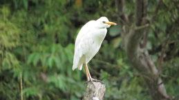 Cattle Egret, Kuhreiher, Bubulcus ibis, Mindo