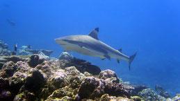 Blacktip reef shark, Schwarzspitzen-Riffhai, Carcharhinus melanopterus