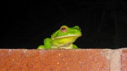 Australian green tree frog, Korallenfinge-Laubfrosch, Ranoidea caerulea
