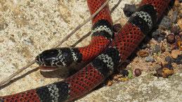 Double-banded false coral snake, Doppelbandige falsche Korallenschlange, Erythrolamprus bizona, Omar Torrijos NP