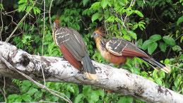 Hoatzin, Ophisthocomus hoazin, Tambopata
