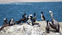 Guanay Cormorant, Guanokormoran, Leucocarbo bougainvillii, Paracas