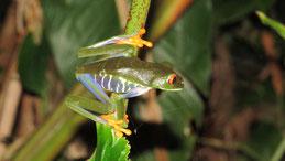 Red-eyed tree frog, Rotaugen-Laubfrosch, Agalychnis callidryas