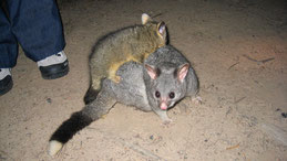 Common brushtail Possum, Fuchskusu, Trichosurus vulpecula, Dryandra Woodlands